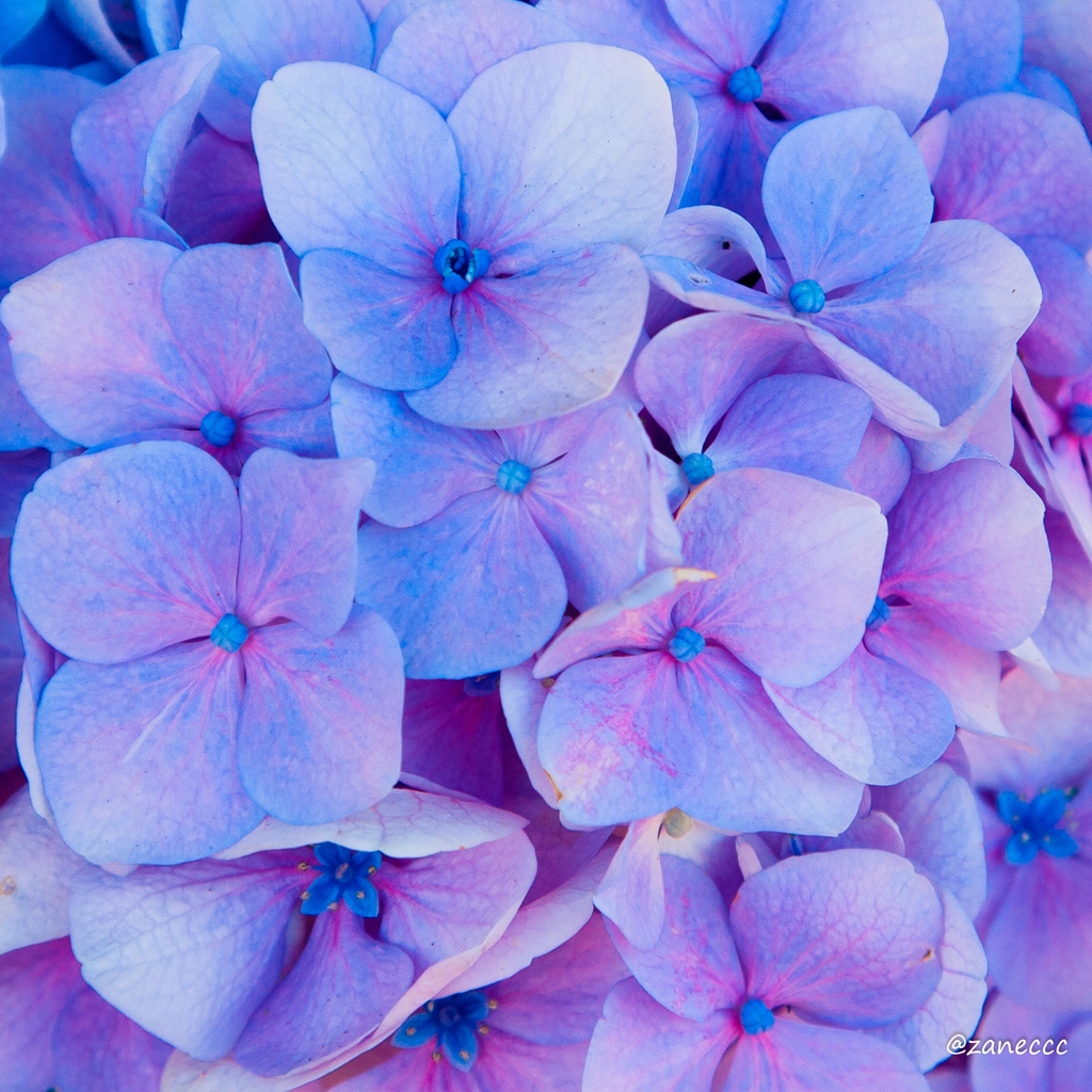 Zanes journal a journal about flowers with pictures blog scientific name hydrangea macrophylla season summer and fall light bright light but not too much direct sunlight color pink blue purple white mightylinksfo